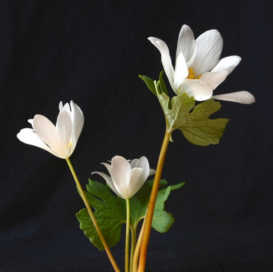 """Jim Amon, """"Bloodroot,"""" photograph of a flower native to the Sourlands  Region of New Jersey"""