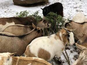 Goats at Lewis Farms & Petting Zoo in New Era, Michigan, feast on the boughs of donated Christmas trees.