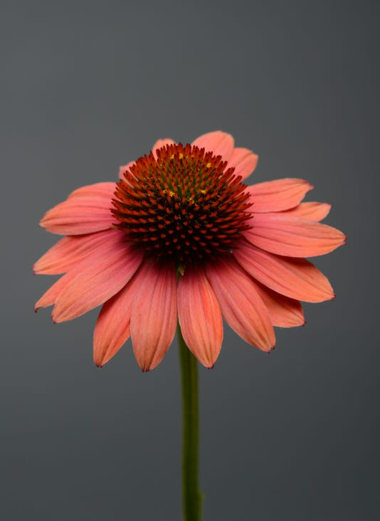Echinacea Sombrero Hot Coral Bloom 9363
