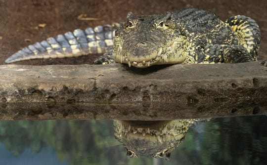 More than 70 Cuban crocodiles are in Bill McMahan's species survival plan.