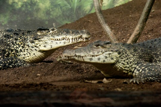 Cuban crocodiles, seen here at the Louisville Zoo, are known for being among the most aggressive species of crocodile.