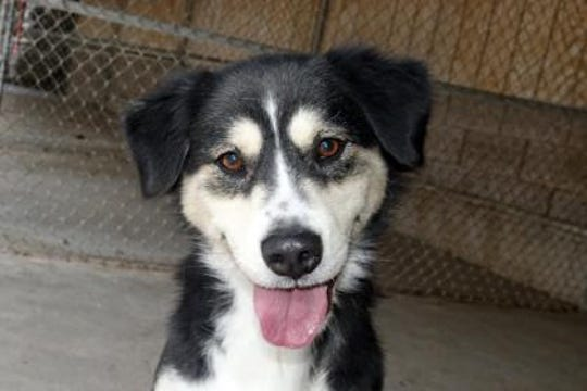 Kayla is a sweet 5-year-old shepherd / husky mix. She is avery loving, happy girl and very well behaved. Kayla is leash and kennel trained. She is very social with people and other dogs.