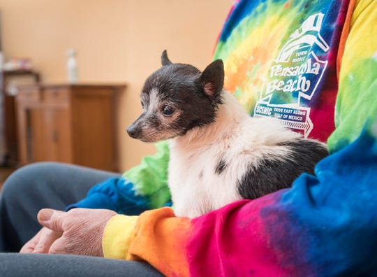 John Harding, a volunteer with the Friends of the Escambia County Animal Shelter fospice program, holds 10-year-old Chihuahua mix Miguel on Friday at his home in Pensacola.