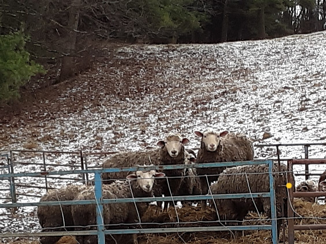 Sheep at a sheep farm look to see who is stopping by their pen