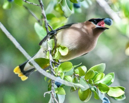 Bird Words cedar waxwing