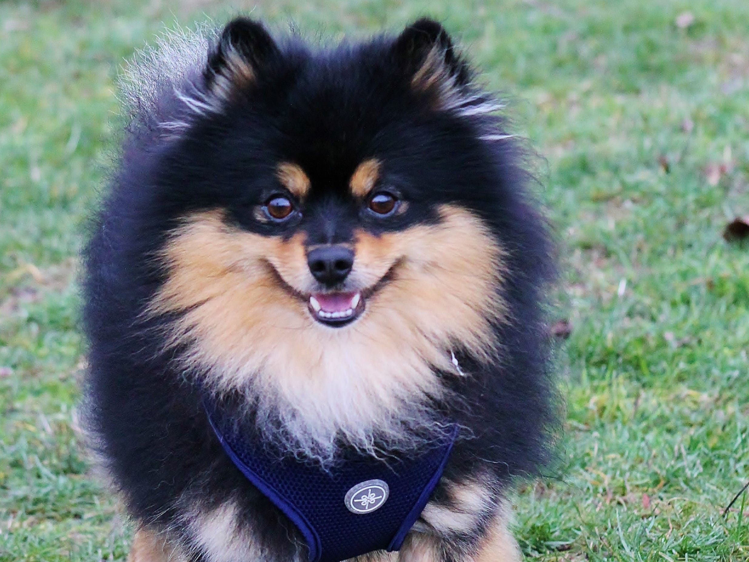 I'm Edward. I need someone with plenty of time, patience, and love to help me get over my learning curve. But with more reward-based training, I bet you I can continue to learn to be even more attentive! I am really lovely, affectionate and love to play. I'm also active and a Pomeranian through and through! I get along really well with all the other dogs here and I was fine with dog-savvy kitties too, in my foster home. Adoption hours are Tuesday through Saturday, 10 a.m. to 4:30 p.m. Contact Marion County Dog Services at 503-588-5366 or go to www.MCDogs.net.