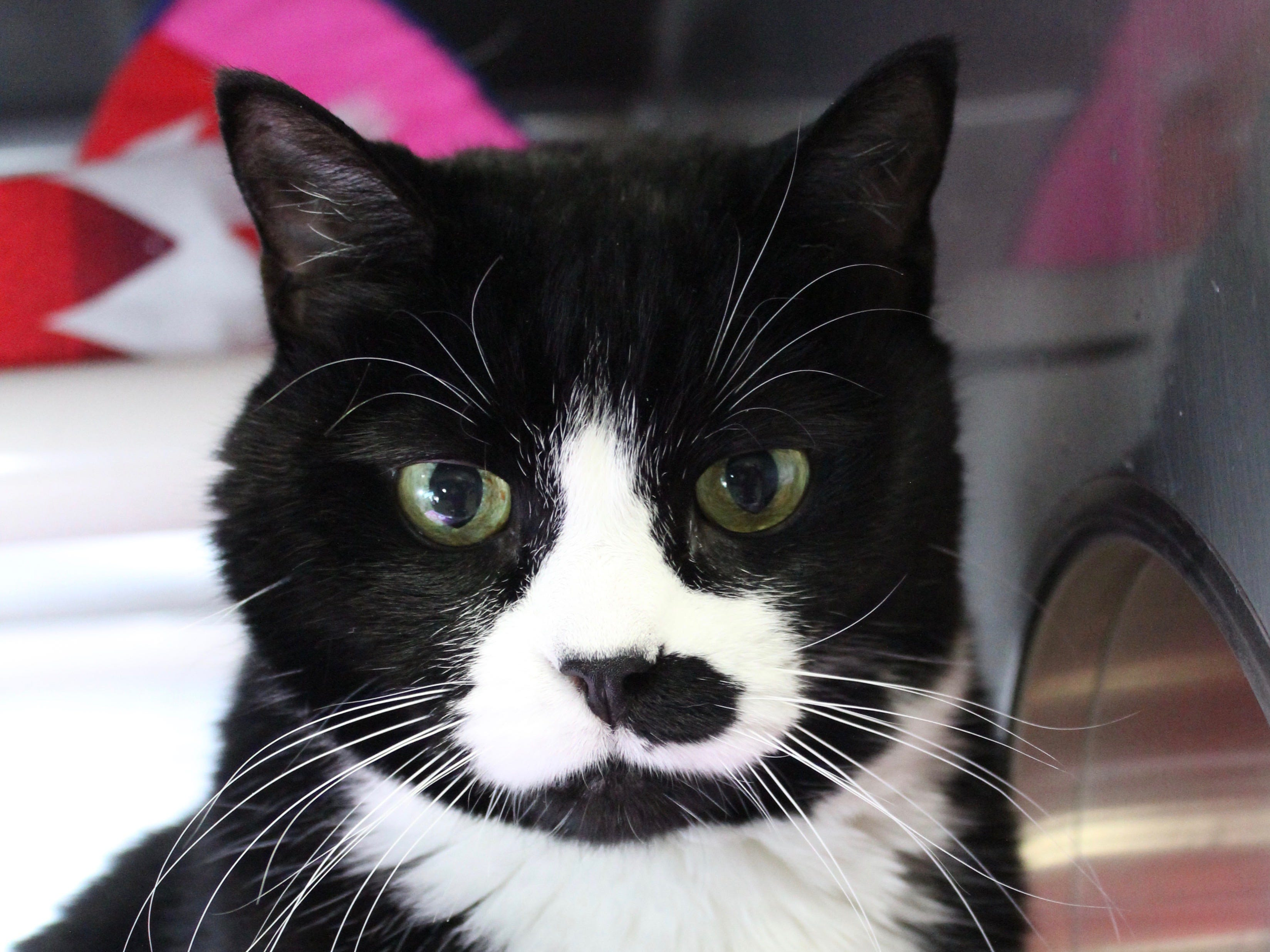 Sissy is a 12-year-old tuxedo kitty that was found as a stray cat in Salem. She is a confident and affectionate cat that can blend nicely into a home with other cats, and we think she'd do well with dogs too. Her favorite activity involves sitting on the lap of the person she loves. She can go home with kids 5 and older. To find out more about her, call Willamette Humane Society at 503.585.5900 or visit www.whs4pets.org.