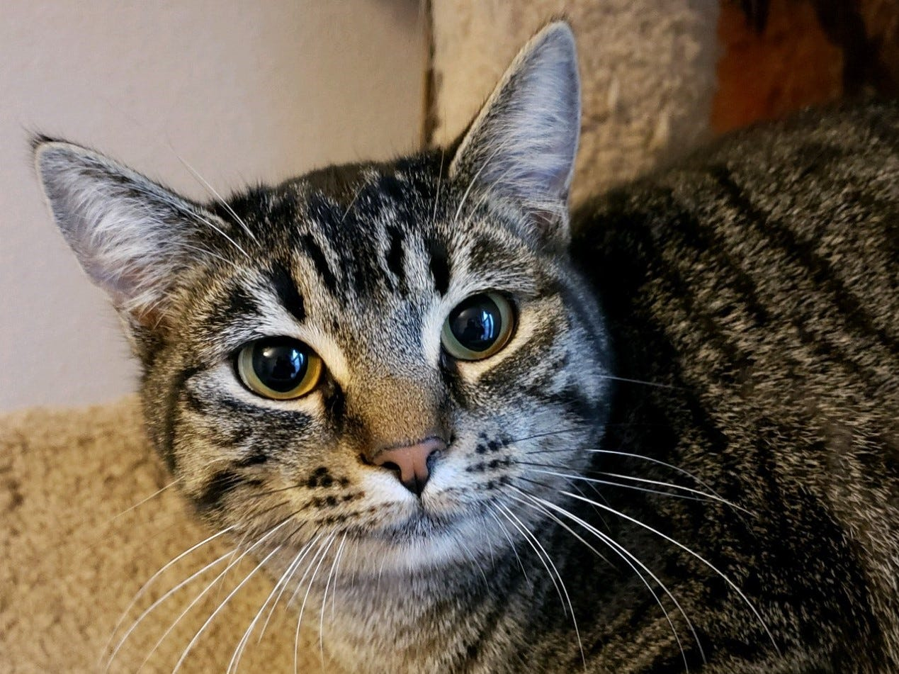 Meet beautiful Mantis. Our classic tabby girl is learning to trust humans and takes just a moment to let you see her social side.  Once she feels comfortable she will kindly welcome you with the tiniest meow.  She might politely ask for a chin scratch or a quick belly rub to keep the pawsitive vibes rolling.  Older kids and respectful dogs and cats that want a pal will do great with Mantis.  The key to a great fit will be a patient personality.  For more information visit www.meowvillage.org or  Sarah 503-522-0082 (text)