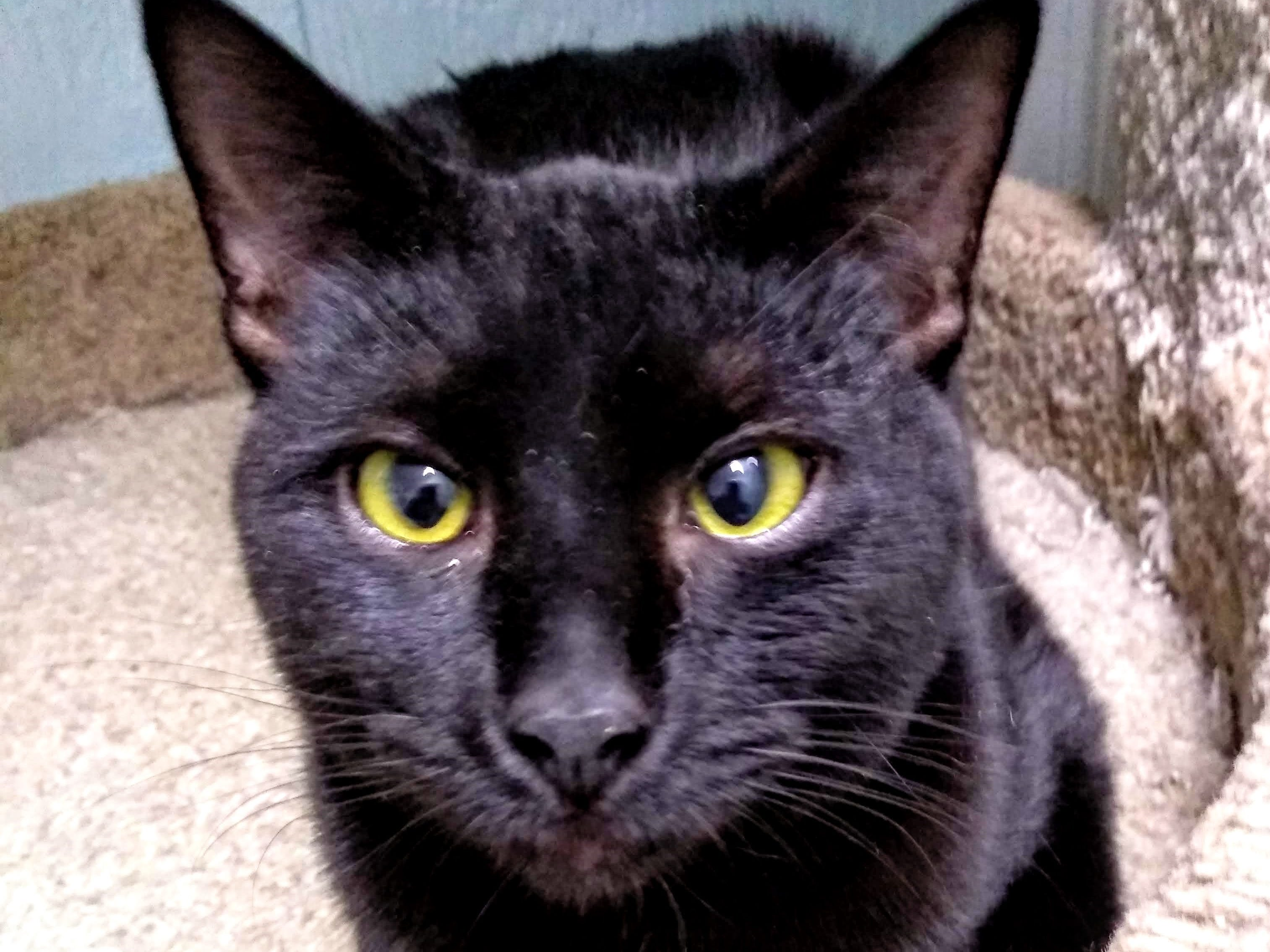 Waylon, nine months, is a super nice cat. He is handsome, mellow, a lover, kind, gentle and likes cats. He makes a perfect model for a mini panther. For more information visit www.sfof.org or call 503-362-5611.