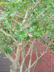 Dahoon holly is a nice small tree that will work well on a home site with limited space. It is also a good choice for the edges of ponds and streams. Dahoon is easily propagated from seeds, cuttings and root suckers, however, do not dig the root suckers from native areas.