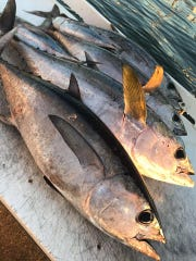 Blackfin tuna, like these caught aboard Unbelievable out of Hutchinson Island Marriott Marina in Stuart, along with pompano, sailfish and Spanish mackerel are being caught throughout the area this week.