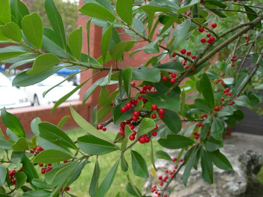 Ilex Cassine Berries Jan 6 Yard Doc