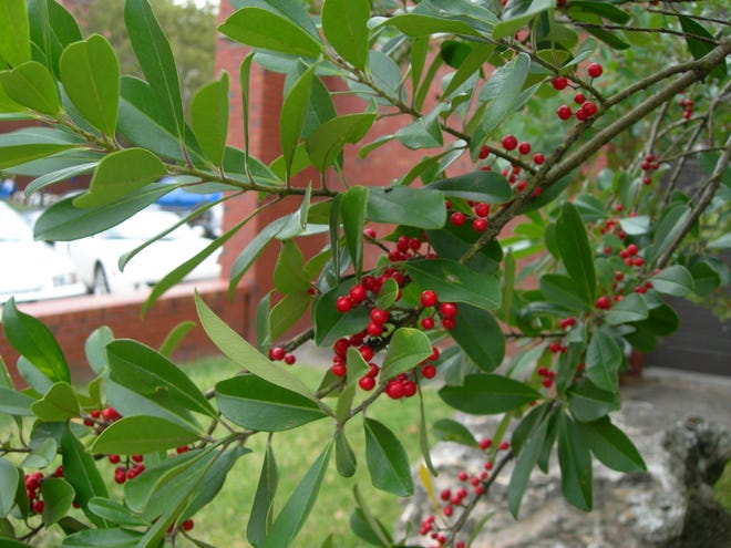 Dahoon holly is a nice small tree that will work well on a home site with limited space. It is also a good choice for the edges of ponds and streams.  Dahoon holly is readily available from most nurseries and garden centers.