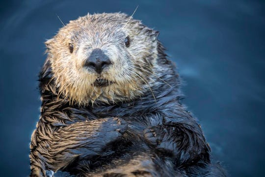 Sea otters at Monterey Bay Aquarium are just some of the cute critters you can watch on a webcam.