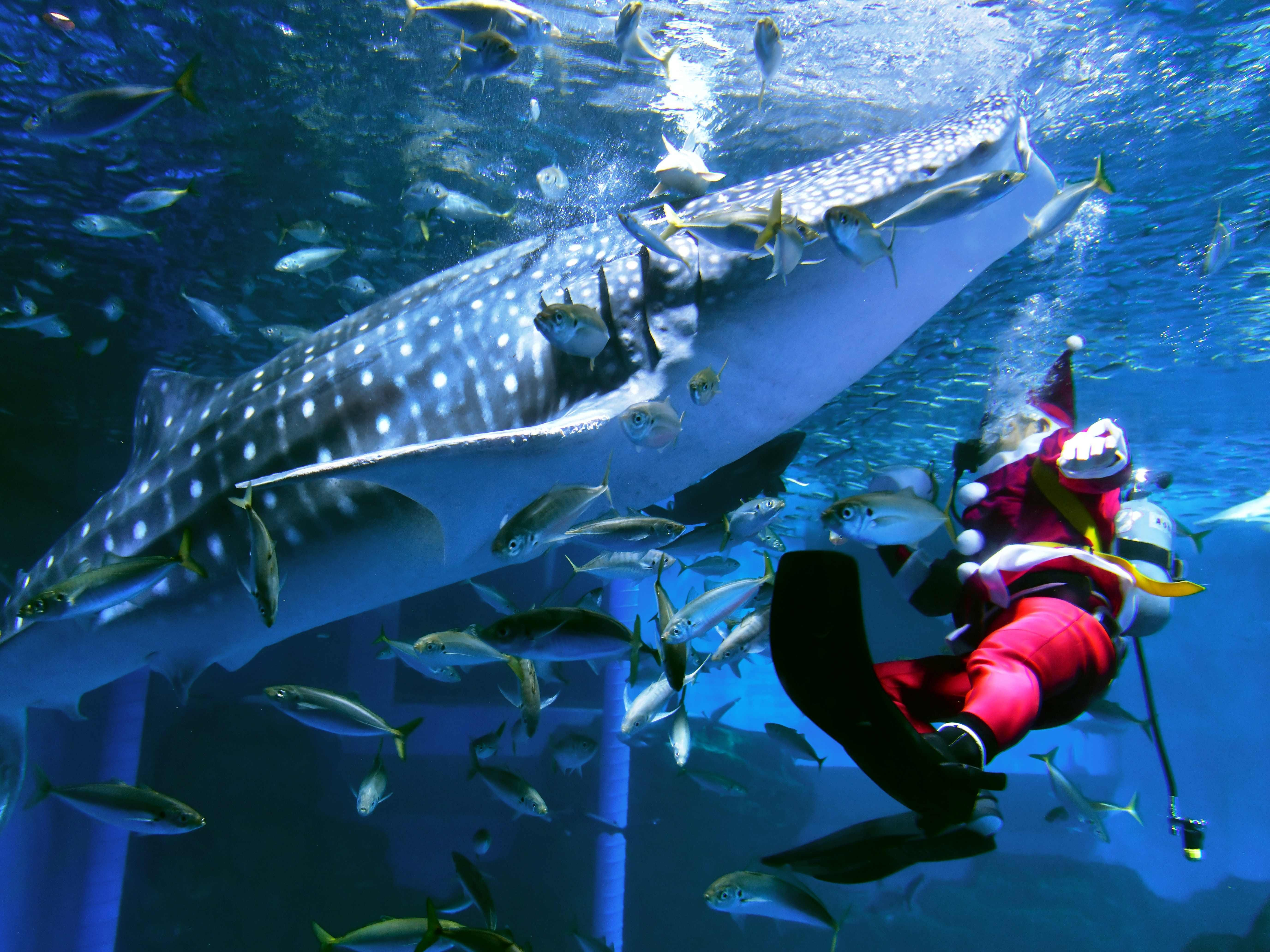 A diver dressed as Santa Claus swims with fish and a whale shark in an aquarium at the Yokohama Hakkeijima Sea Paradise in Yokohama on December 24, 2018, during a promotional Christmas show. (Photo by Kazuhiro NOGI / AFP)KAZUHIRO NOGI/AFP/Getty Images ORIG FILE ID: AFP_1BT33B