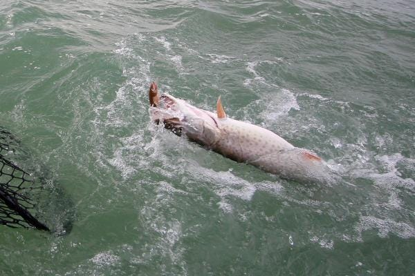 Muskies, as well as several other species of fish, have thrived in Lake St. Clair without any need for restocking.