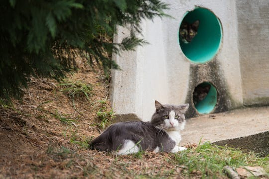 The cat colony that Austin Peay's Paws to Care maintains has about 20 felines. The cats like to use pipes to move underground around campus.