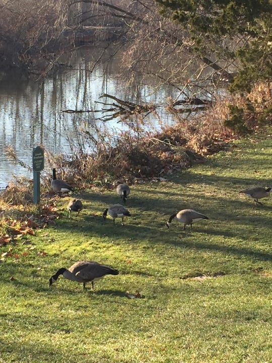 Geese graze in the sun near the Rouge River at the Henry Ford Estate in Dearborn in early December 2018.