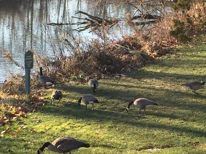 Geese graze in the sun near the Rouge River at the Henry Ford Estate in Dearborn earlier this month.