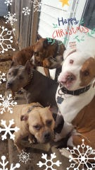 Alissa Sullivan's Christmas card featuring Hippo, grey, Nisroc, white, along with Boxer mix Kizmet and Bowey, an English bulldog mix.
