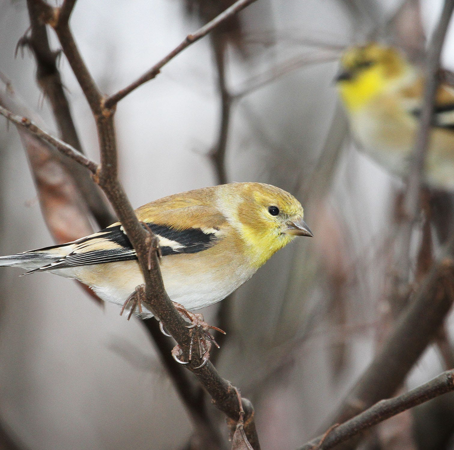 For the Birds: Goldfinches come and go