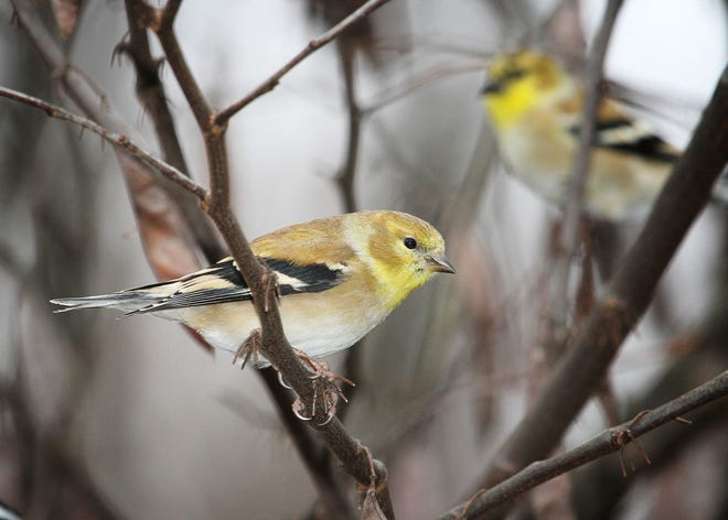 Year-round residents, American Goldfinches wander about, sometimes deserting feeders, seemingly for no apparent reason.