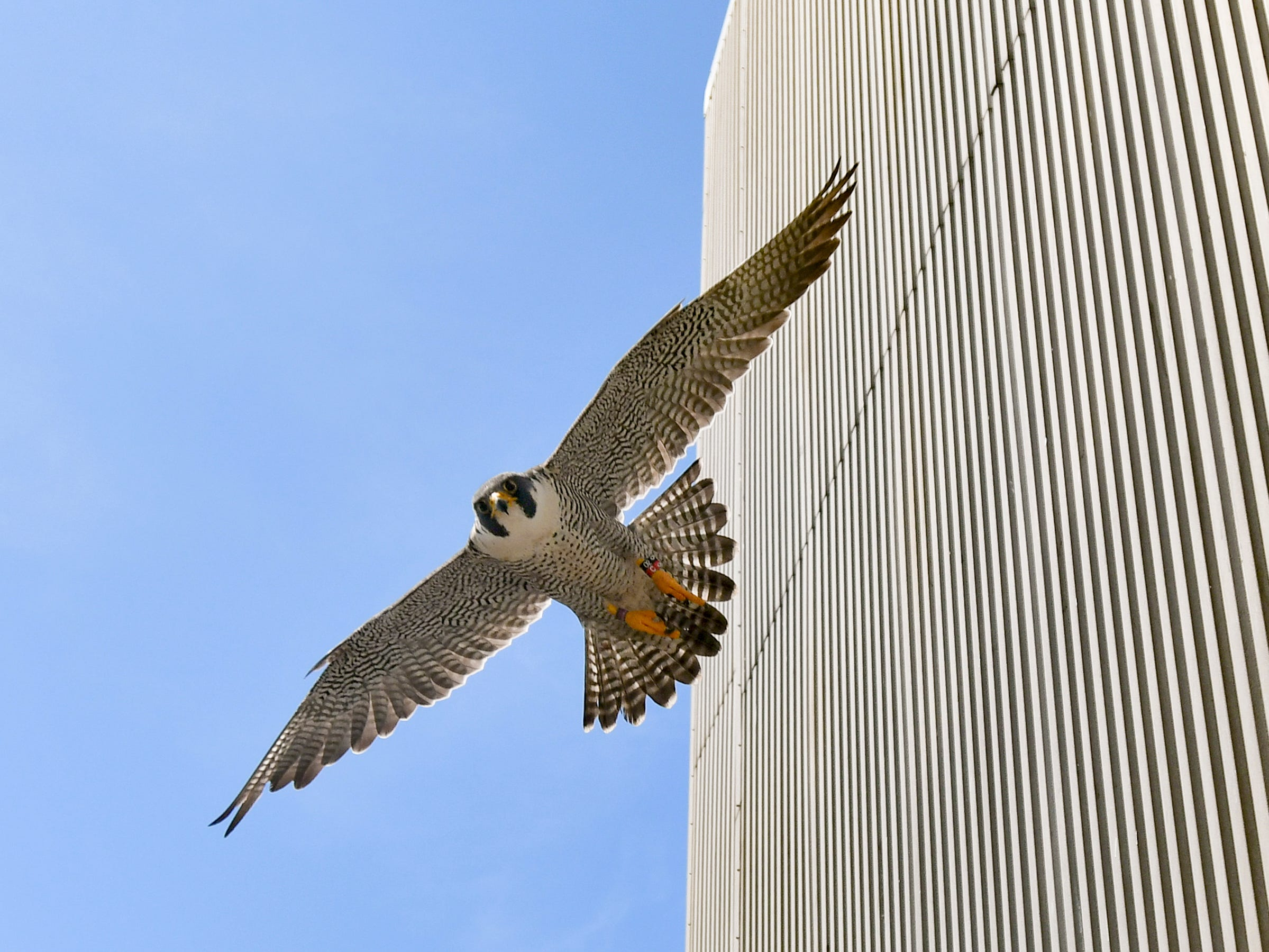 Tornado, an adult male peregrine falcon swoops low protecting its nest, Tuesday, June 26, 2018, near the 10th floor of the Lansing Board of Water & Light's Eckert Power Station in REO Town.  Veterinarians from Potter Park Zoo took its baby chick from the nesting box for a complete physical exam. DNR biologists tagged the bird to help track migration patterns. Peregrine falcons are endangered in Michigan.