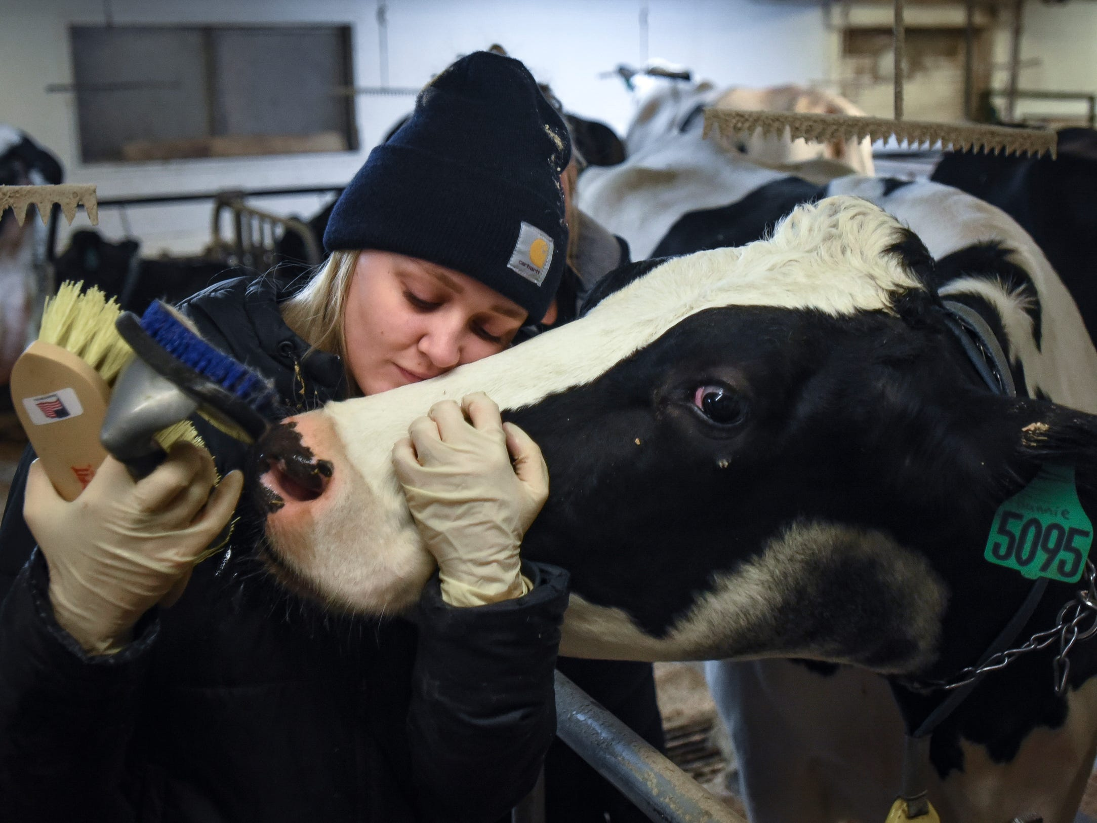 """I am absolutely loving it, I do not want to leave,"" MSU junior Deanna Blair said as she connects with ""Bunnie,"" an adult Holstein cow, Wednesday, Dec. 5, 2018, at MSU's Dairy Cattle Teaching Research Center in Lansing. The farm offered students a unique way to de-stress while studying for finals.  Ten dollars got them 30 minutes of cow brushing and petting time.  Blair spent most of those 30 minutes with Bunnie."