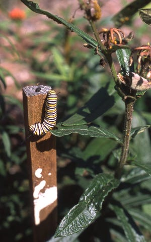 This colorful butterfly larva of the Monarch butterfly is distasteful to predators, which helps it survive to become a butterfly. It is crawling on a wooden stake near butterfly weed plants, upon which it feeds.