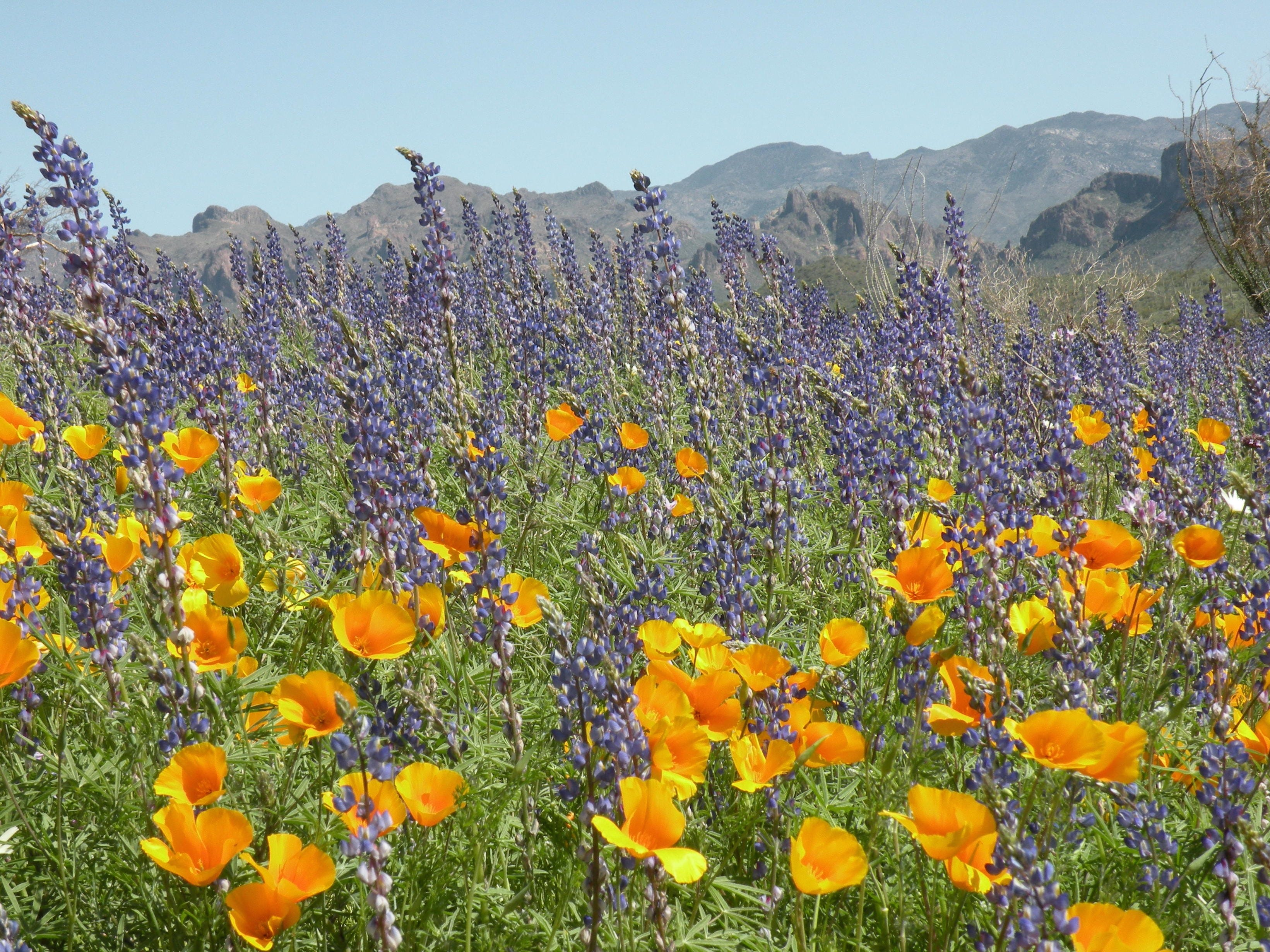 Poppies and lupine make a colorful statement in Arizona's desert.