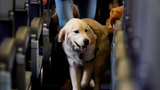 The airline industry is cracking down on their pet policies, especially concerning emotional support animals.