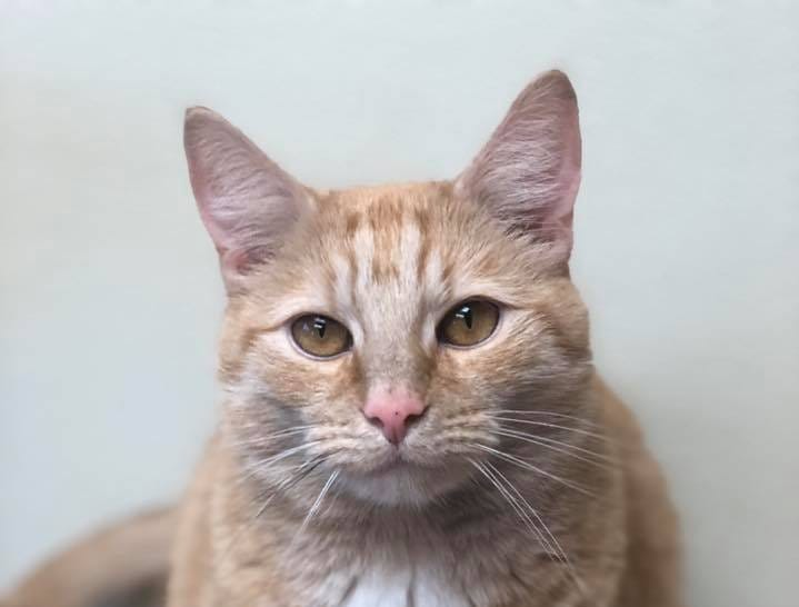This handsome boy is Richie, and he's 3 years old. He is hoping this holiday season will be his best ever, giving him a family to love. Learn more about Richie at lebanonhumane.org  or stop by the shelter during business hours.