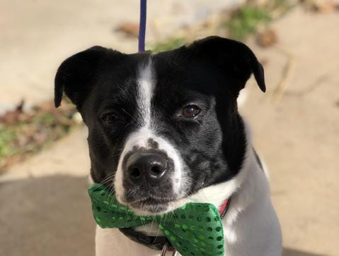 Spot is a 2-year old male who wants to find a family to love him. You can find out more about Spot at http://lebanonhumane.org/