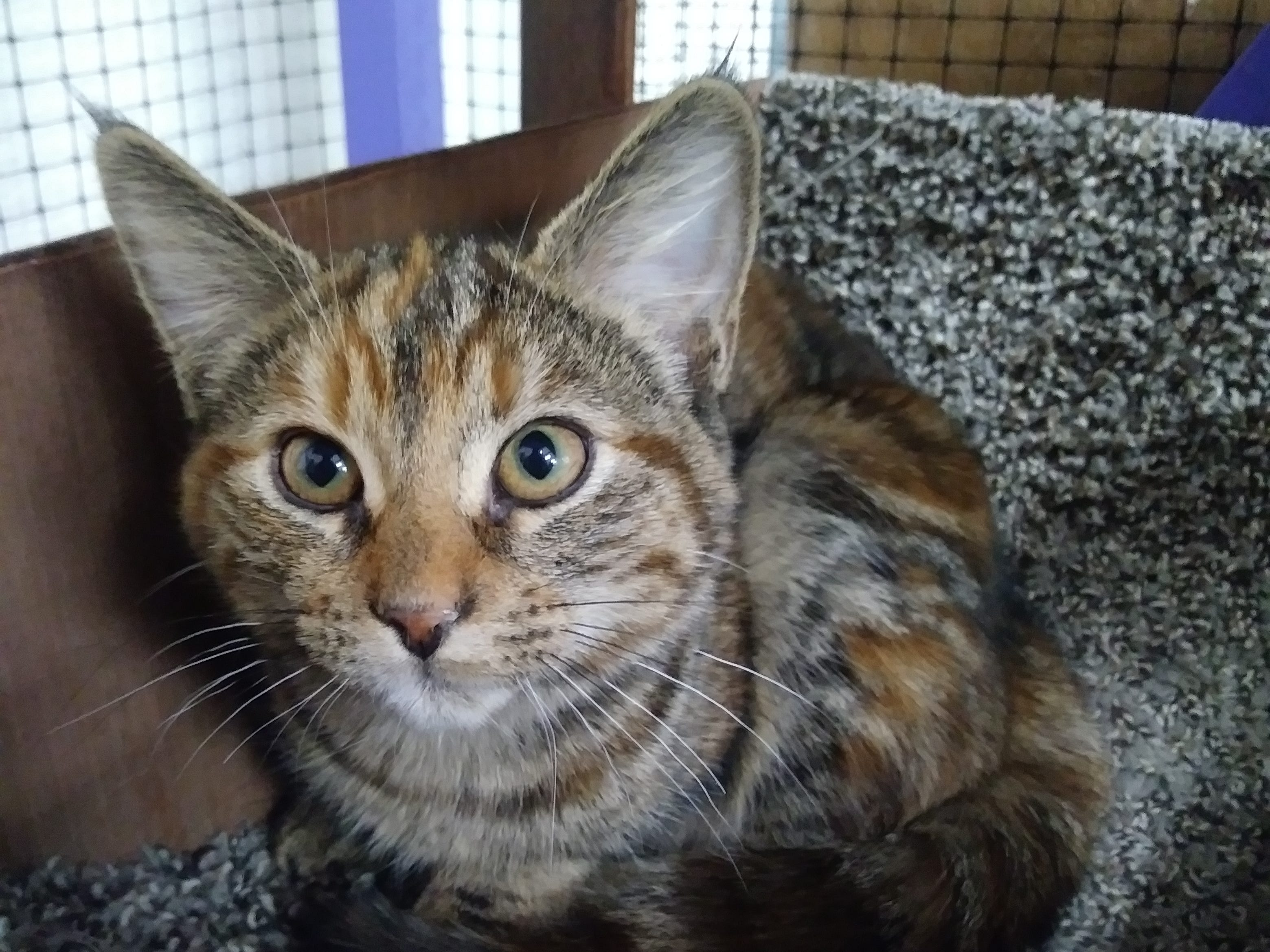Cecilia is a 6-month-old, female tortoise-shell kitten She's very friendly and loves to talk to her human companions. Email Spay Neuter and Protect at Snap.spayneuterandprotect@gmail.com. Call 209-6966.