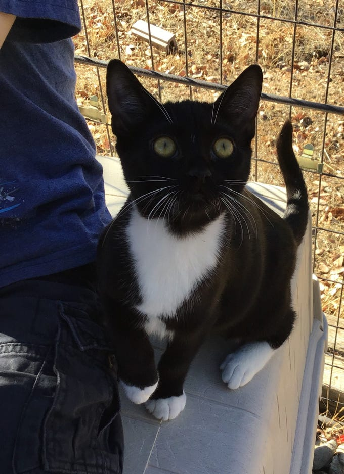 Espresso is a sweet, male 7-month-old kitten. He's friendly and playful. He and his two brothers are ready for adoption. Raining Cats N Dogs adoptions include spay/neuter services, vaccines and vetting as needed. Call 232-6299. Go to http://rainingcatsndogs.rescuegroups.org.