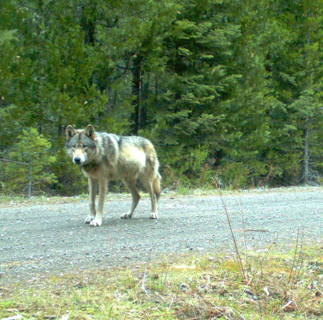 Oregon wolf plan: New rules on killing wolves that prey on livestock