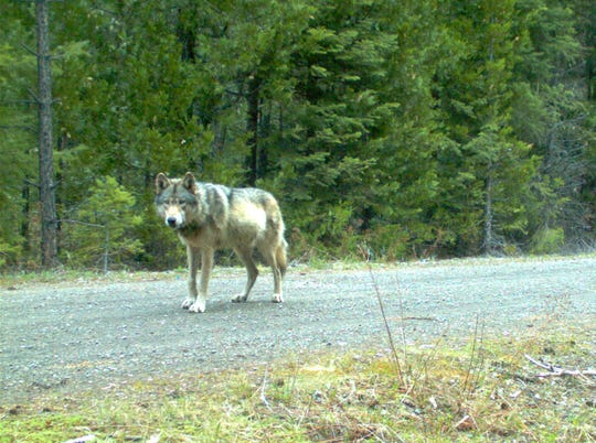 Remote camera photo of OR7 captured in 2014 in eastern Jackson County on USFS land.