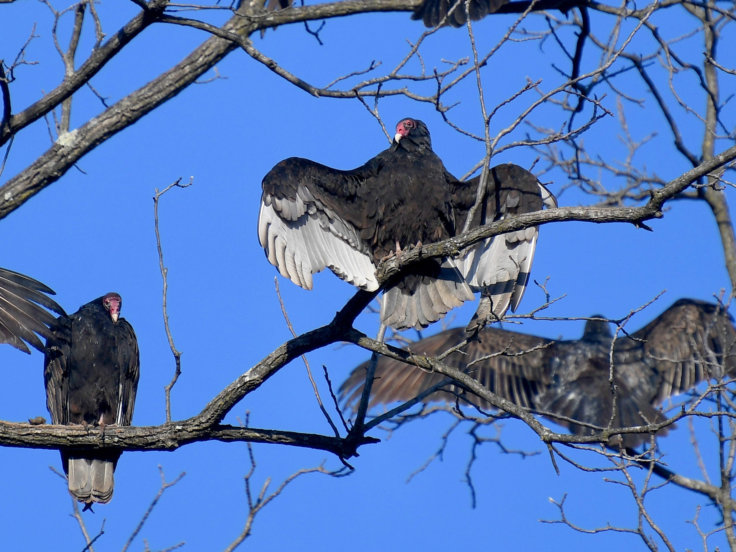 A turkey vulture spreads its wings in the warmth of the morning sun while roosting in a tree with others, visible from Fillmore Street in Staunton on Thursday morning, Dec. 19, 2018.