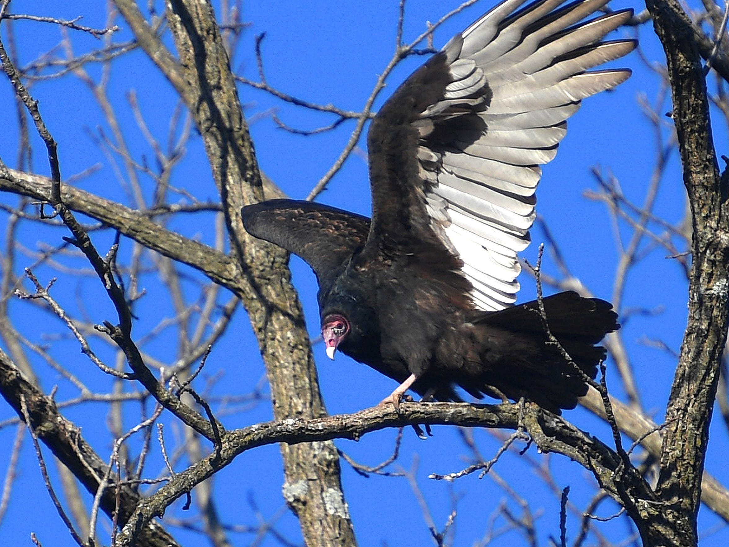 A turkey vulture spreads its wings in the warmth of the sun while perched in a tree visible from Fillmore Street in Staunton on Monday morning, Dec. 17, 2018.
