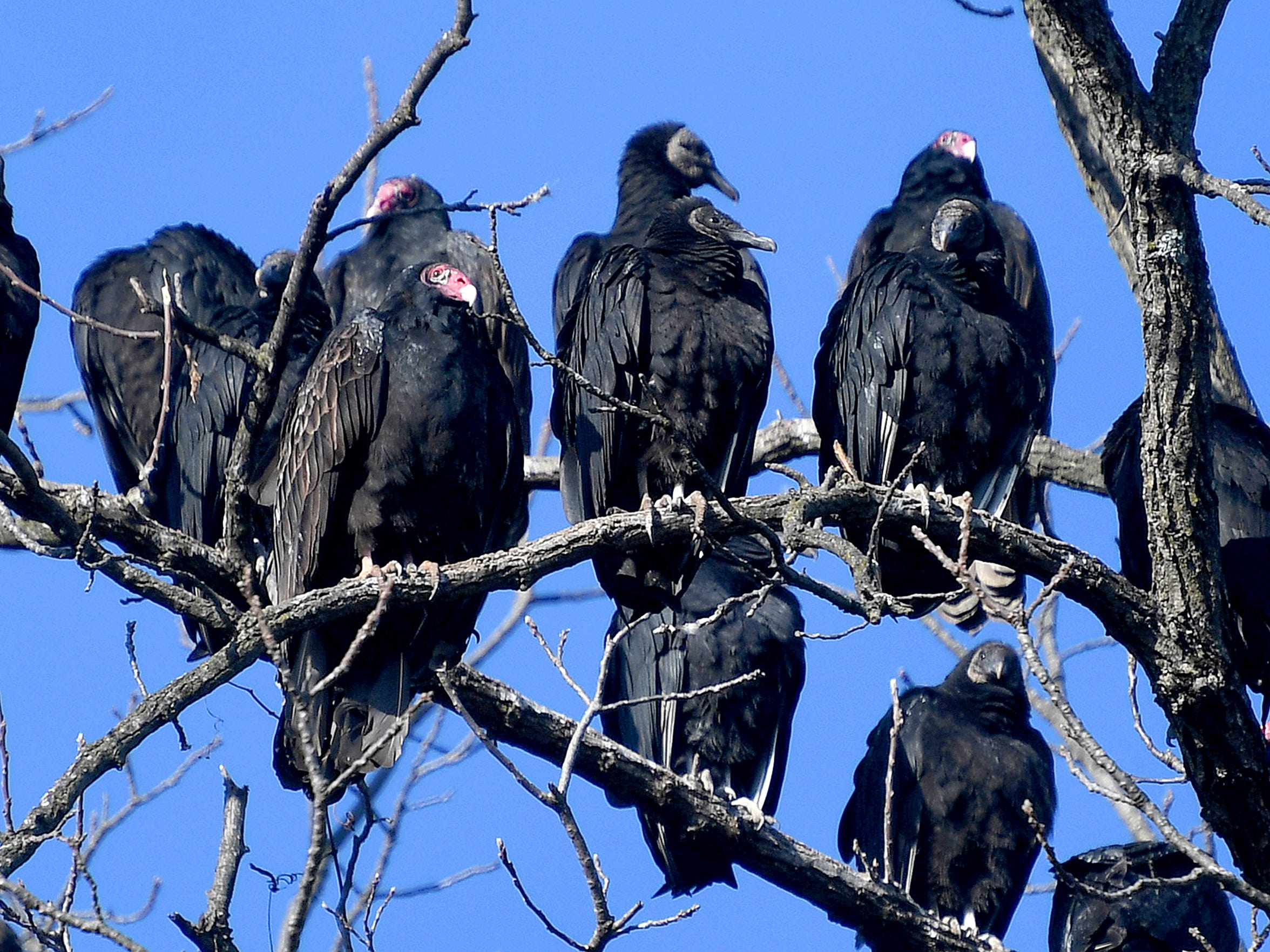 Black vultures and turkey vultures share space as they roost together in the same trees, visible from Fillmore Street in Staunton on Thursday morning, Dec. 19, 2018.