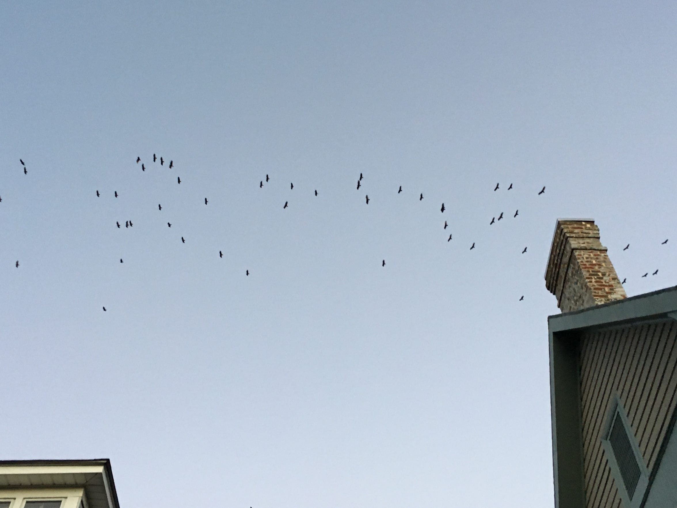 As vultures spin off a massive gathering over the Staunton Library, over 50 vultures slide over the housetops.