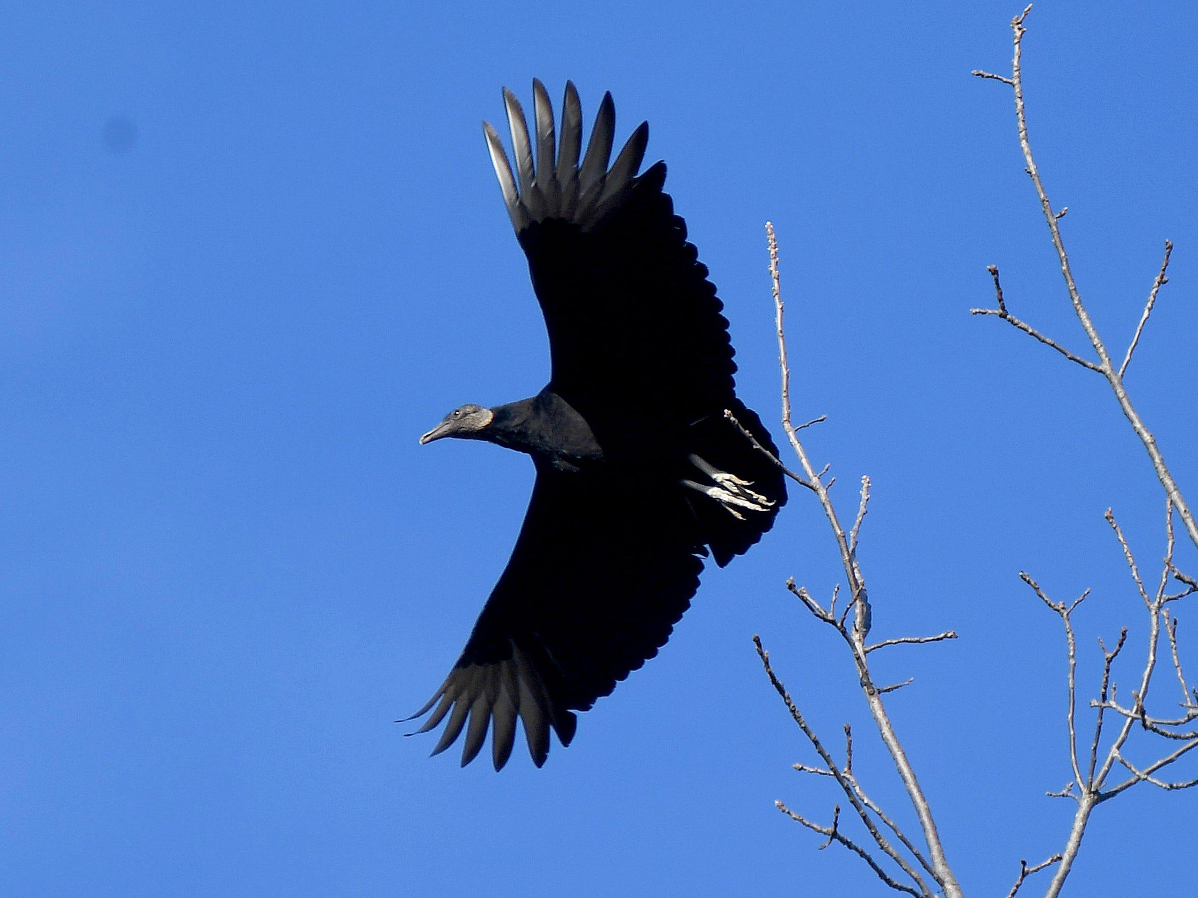 The black vulture takes flight.