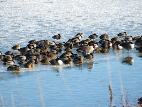 Mallards and Canada geese tolerate Minnesota winters as long as they have food and open water.