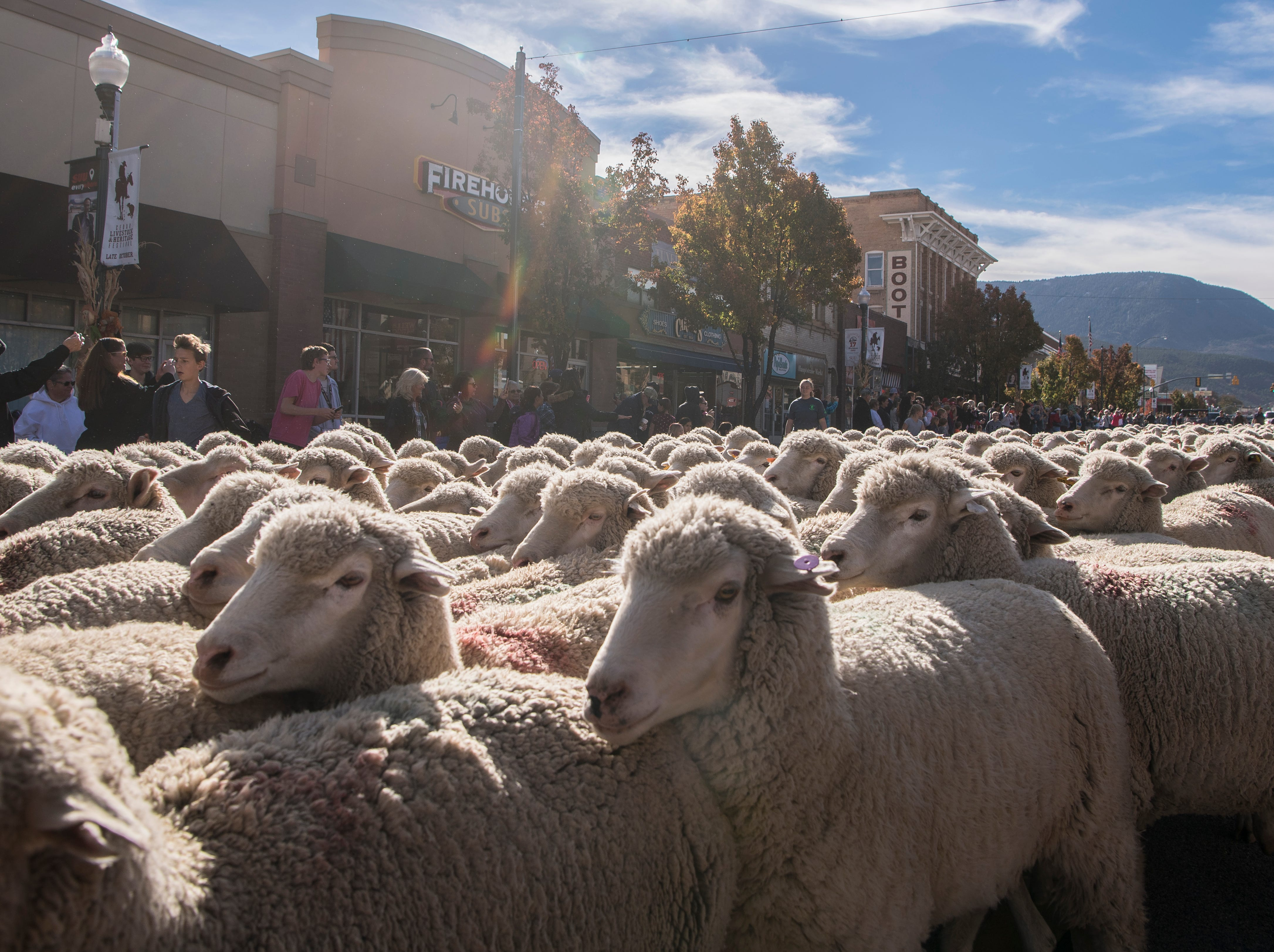 Sheep march down Main Street in Cedar City as a part of the Livestock & Heritage Festival Saturday, October 27, 2018.
