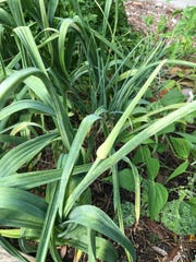 ard neck garlic varieties grow long flowering stems called scapes, which should be cut off the plant to increase bulb size.