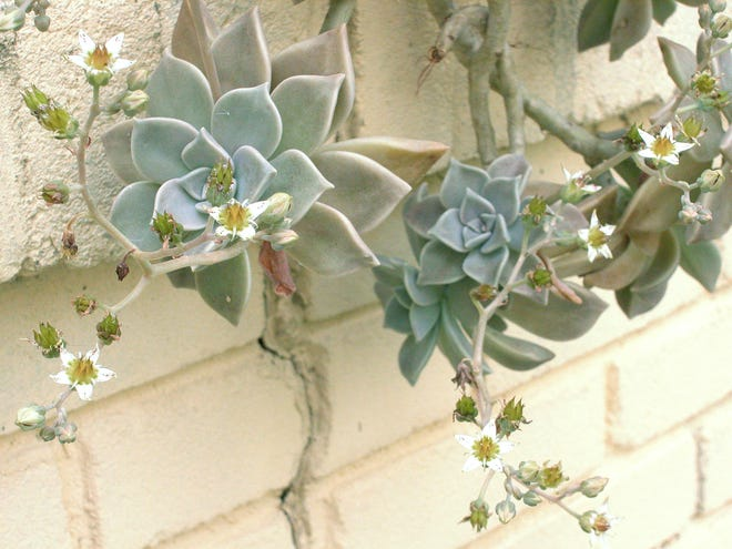 Ghost plant is a succulent that does well in dry conditions.