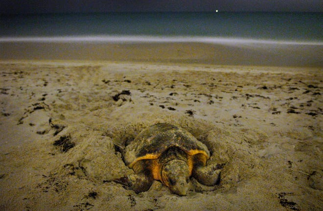 Turtle nesting season continues through Oct. 31. In this 2007 photo, an adult female loggerhead turtle lays her eggs in Vero Beach. In 2006, about 3,300 loggerhead nests were marked in Indian River County. As of June 28, there have been 3,580 loggerhead nests recorded in Indian River County.