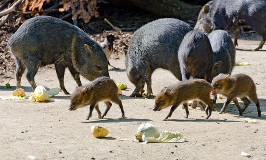 A pack of peccaries with young animals at feeding.