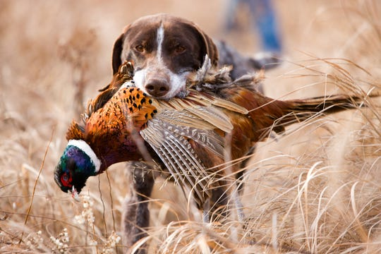 German short hair retriever running back to his master with a bird in his mouth during a pheasant hunt.