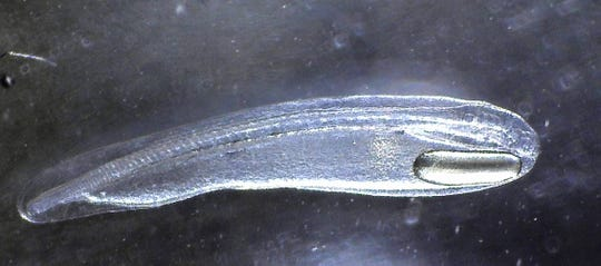 Actual size of this bonefish larvae reproduced for the first time in a lab  is 1/4-inch in length.
